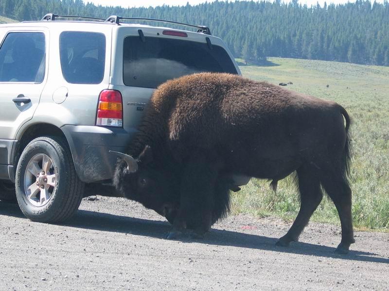 Yellowstone Park - Bull Fight
