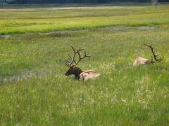 Yellowstone Park - Wildlife