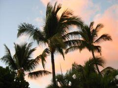 Palmy na Maui