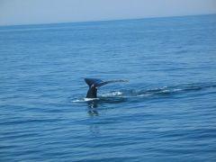 ogon wieloryba - Cape Cod
