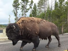 Buffalo @ Yellowstone