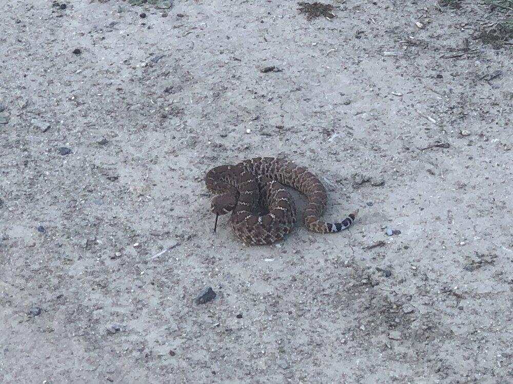rattlesnake.jpg